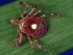 Identificadas las causas biológicas de la alergia a la carne provocada por la picadura de garrapata (J Immunol)