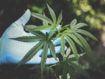 Cannabis associated with blood pressure reduction in older adults