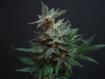 Efecto del cannabis inhalado sobre el dolor en adultos con anemia drepanocítica
